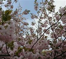 桜まだまだ 新宿御苑
