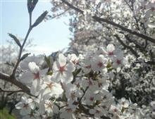 桜、さくら、咲くら♪
