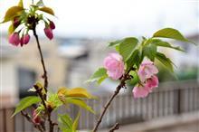 うちの桜も咲いたよ!