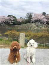 チョコとブラン  51 🌸桜