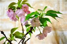 うちの桜が満開!