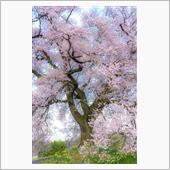 今年の桜は残念でした。