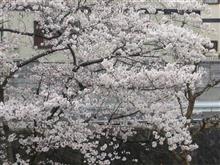 桜の雨、いつか