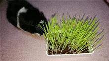 猫草の成長が早い!
