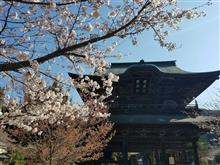 鎌倉の桜と新宿飲み 出稼ぎ2日目