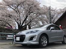308Cieloと出会って6周年記念日に満開の桜を愛でてみた…♪