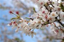 桜を・・・そして友との再会を求めて・・・兵庫!京都!