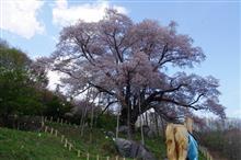 越代の桜(古殿町)