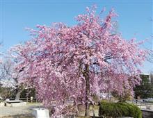 春ですねぇ~。