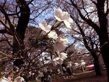 大宮公園にて花見