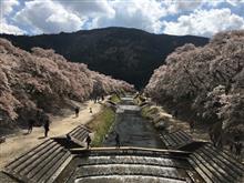 鮎河桜祭り