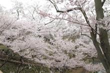 高遠城址の桜が満開