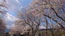 長野市篠ノ井、茶臼山公園の桜