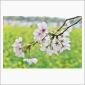 【武蔵野市/立川市】桜を求め ...