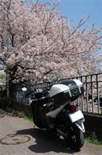 神奈川Touring!桜・さくら・サクラ♪