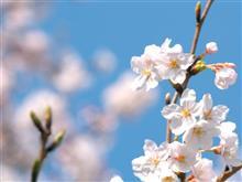 桜写真のネタ伸ばし