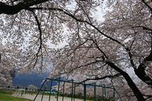 桜(リベンジ)