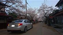 がいせん桜を~ヽ(^o^)丿