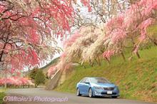 今年最後の桜と、今年も花モモ♪