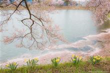 桜ドライブ④-2 (高遠~萱野高原~北杜)