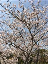 今年の桜は。。。\(  ˆoˆ  )/