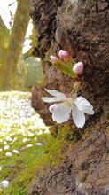 桜のジュータン♪♪♪
