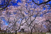 桜風景 高遠・清春 前半