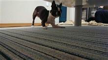 V10(ブイテン)家の犬です