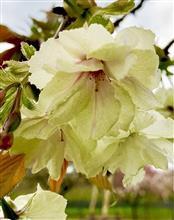 幸せを呼ぶ黄色い桜 .  .  . 『鬱金桜(ウコンザクラ)』
