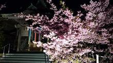今年の桜( ´艸`)