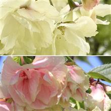 幸せを呼ぶ『鬱金桜』が黄色から桜色に.  .  .