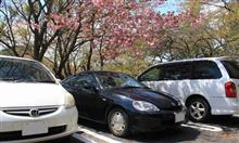 君ケ野の さくらまつりの 八重桜