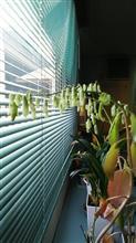マザーリーフが開花しました。