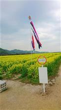 菜の花が満開~ヽ(^o^)丿