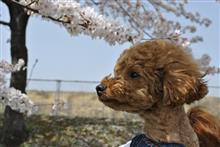 今回も桜をネタに「桜をバックに愛犬ビート」で(笑)