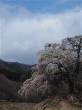 群馬の一本桜