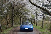 テンションだだ下がりの桜ドライブ