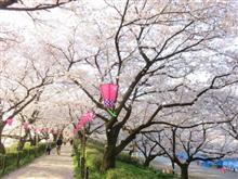 桜めぐり早朝散歩