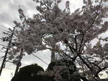 夜桜で宴会