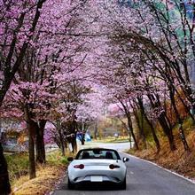 桜並木のトンネルを走りたい2週目