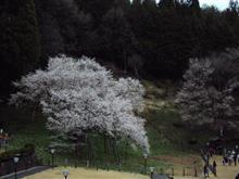 今年はどの桜も早い…