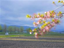 桜はあきらめて