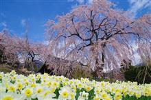 お花見ドライブ2018駒ヶ根高原