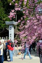 高野山に桜🌸を見に行きました😆