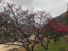 月川温泉郷の花桃の開花