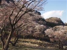 山桜@屏風岩