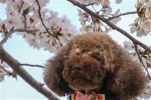 2018年桜 総決算