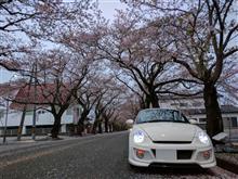 桜探して右往左往(。-`ω-)