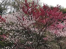 4月は花桃ですよ~♪2018