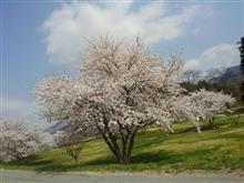 桜満開っす